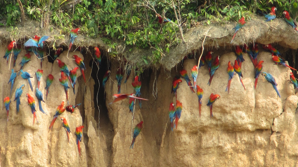 Three dozen colourful macaws on a clay cliff in the Amazon near Puerto Maldonado, Peru.