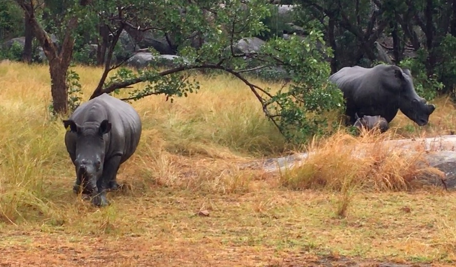 A setting of grassland, trees, and large boulders. A juvenile white rhino faces the camera; a adult female and calf rhino are in the background