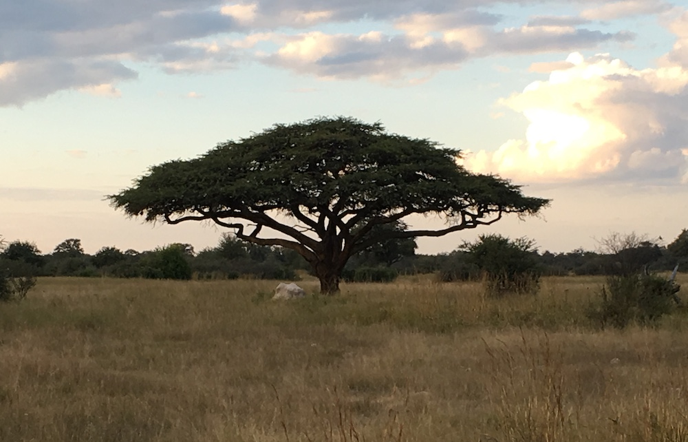Umbrella acacia tree surrounded by grassland at the start of sunset